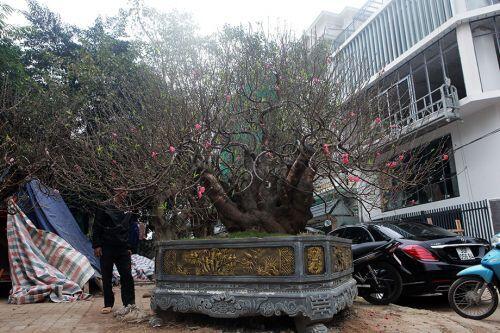 Đào Nhật Tân ghép đào rừng cổ thụ, giá thuê chơi Tết đã hơn trăm triệu