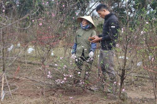Rượt đuổi cùng thời gian, người trồng đào sẵn sàng đón Tết