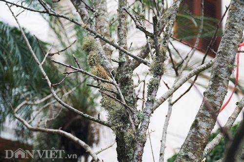 Cành đào rừng 10 năm tuổi được rao bán 200 triệu đồng ở Hà Nội