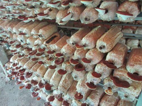 Bỏ nhiều nghề để về trồng nấm, thu lãi 200 triệu đồng/năm