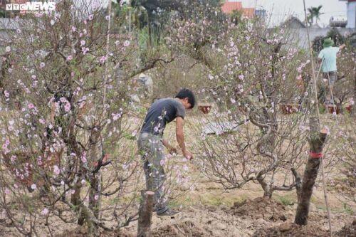 Hàng nghìn gốc đào nở bung, nông dân Hải Phòng 'khóc ròng'