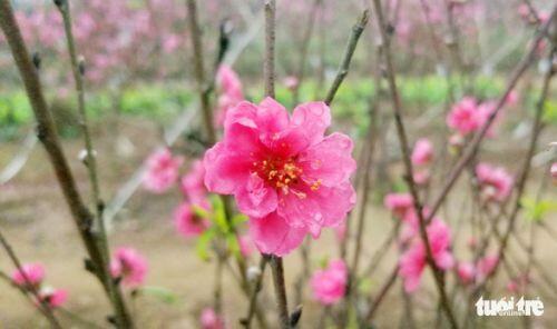 Đào Nhật Tân: Vào tận vườn chọn cành, ngã giá