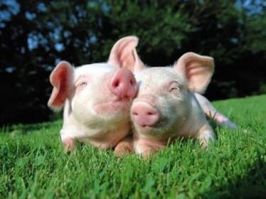 Thủy sản Hùng Vương hợp tác Thadi lập công ty sản xuất heo giống