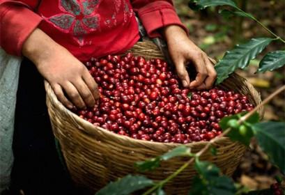 Giá cà phê hôm nay 11/6: Mức cao nhất 32.500 đồng/kg