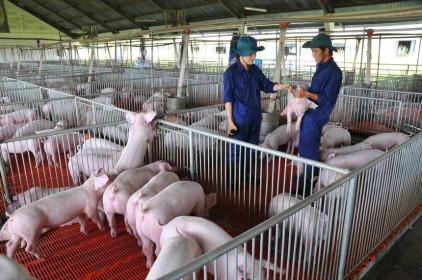 Giá thịt lợn cao ngất ngưởng, doanh nghiệp chăn nuôi tận dụng tăng biên lợi nhuận