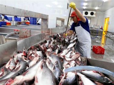 Giá cá tra thương phẩm chạm đáy, nông dân lỗ 5.000 đồng mỗi kg