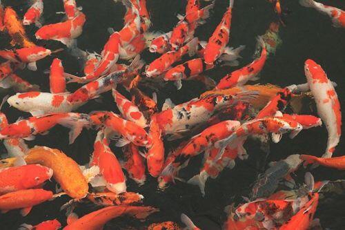 Chơi cây cảnh tiền tỷ chưa đã, đại gia nổi danh Thái Nguyên mua hẳn đá quý làm hồ cá Koi