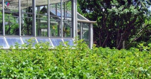 Thứ từng mọc hoang, làm hàng rào, nay sốt 2 triệu/kg cứ bán là hốt tiền