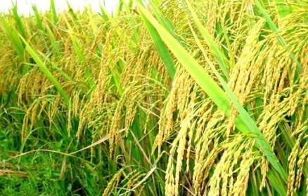 Giá lúa gạo ngày 26/07: Giá gạo tiếp tục tăng nhẹ, nguồn cung giảm
