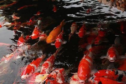Cá Koi trăm triệu bị trộm ăn thịt: Nhà giàu Việt đổ tiền tậu, nuôi thế nào?
