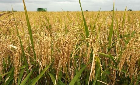 Giá lúa gạo hôm nay ngày 31/12: Giá lúa gạo biến động trái chiều