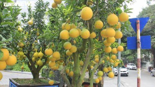 Bưởi Diễn bonsai đặc quả chơi Tết giá hàng chục triệu đồng