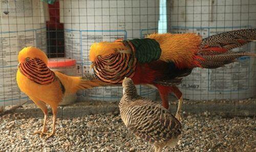 Bỏ phố về quê nuôi loài chim có lông rực rỡ kiếm vài trăm triệu/năm