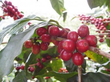 Giá cà phê hôm nay 21/1: Cơ hội cho cà phê Việt khi dự trữ thế giới ở mức thấp do dịch Covid-19