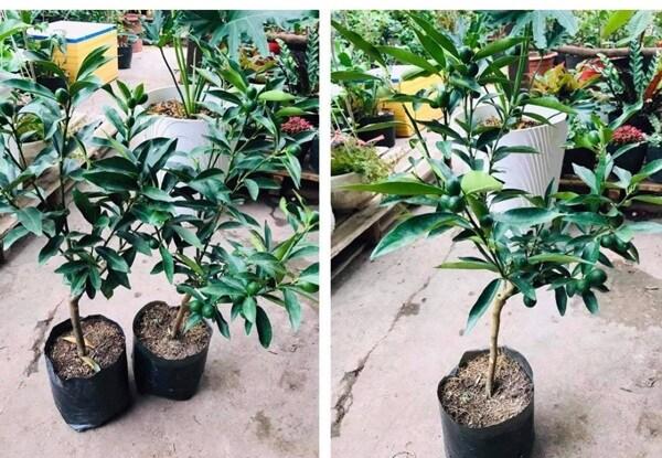 """Biết """"bị lừa"""", khách hàng vẫn chi hàng triệu đồng để mua cây này về chơi Tết"""