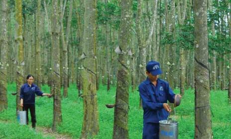 Cao su Tây Ninh (TRC) đặt kế hoạch lợi nhuận giảm gần 50%