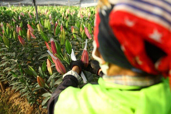 Nông dân vựa hoa ly lớn nhất Bắc Giang lo gặp cảnh 'hoa cười, người khóc'