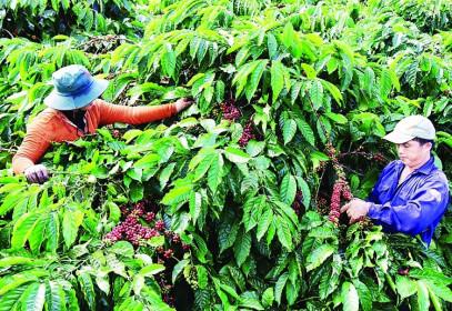 Ngành cà phê Việt Nam: Quyết tâm vượt đại dịch