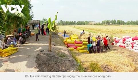 Giá lúa tăng cao, nông dân Đồng bằng sông Cửu Long thu lời gấp 2-3 lần năm ngoái