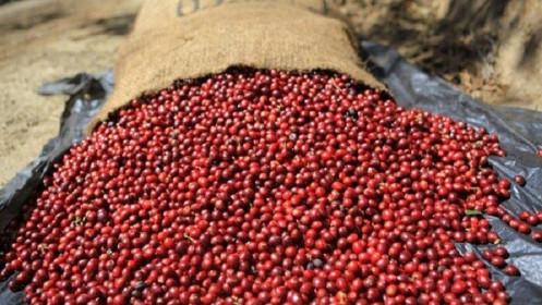 Giá cà phê hôm nay 19/3: Giảm mạnh, tăng ì ạch, nông dân bán cà phê để trữ tiêu