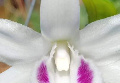 Lan 5 cánh trắng Phú Thọ, hàng đột biến mà giá chỉ vài triệu