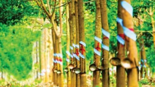 Giá cao su hôm nay 5/4: Sàn châu Á đi ngang, Nhật Bản có tín hiệu khả quan, công ty cao su Việt Nam giảm mục tiêu lợi nhuận sau thuế