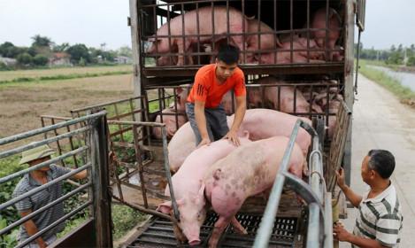 Giá lợn hơi hôm nay 10/4/2021: Cả 3 miền tiếp tục giảm nhẹ