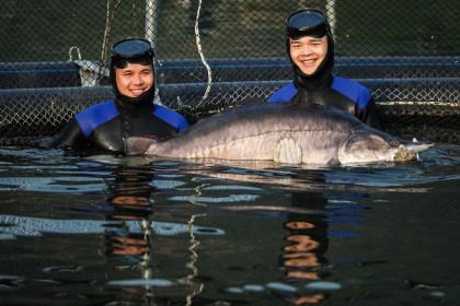 Cá tầm khổng lồ Beluga lần đầu xuất hiện tại Việt nam
