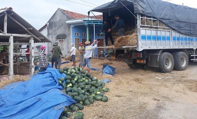 Dưa hấu tăng giá, nông dân Bình Định phấn khởi, không lo chờ... giải cứu