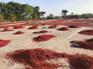 Giá ớt tiếp tục rơi tận đáy, nông dân bỏ mặc ruộng ớt chín cây