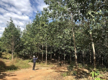 """Kỳ lạ gần 400 héc ta cao su """"vô chủ"""" trên đất rừng ở Gia Lai"""