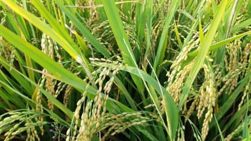 Giá gạo xuất khẩu mất 20 USD/tấn trong một tháng