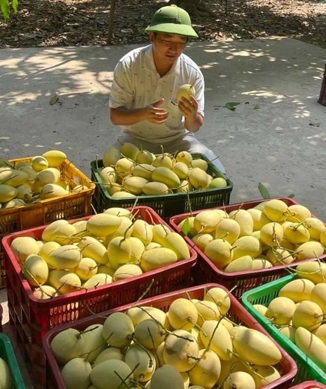 Giá xoài Việt thấp chưa từng có, có loại rẻ hơn rau