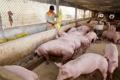 Giá lợn hơi hôm nay 21/5/2021: Giảm nhẹ, cao nhất 69.000 đồng/kg