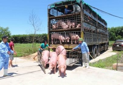 Tạm ngừng nhập khẩu lợn sống từ Thái Lan để giết mổ
