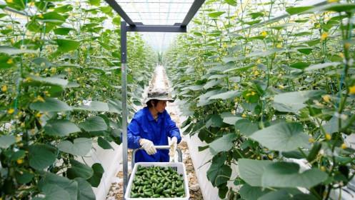 Dịch Covid-19 thúc đẩy sự bùng nổ nông nghiệp nhà kính công nghệ cao