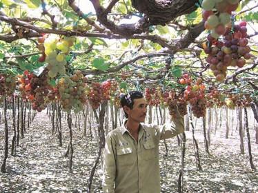 Nông sản chủ lực của tỉnh Ninh Thuận gặp khó về đầu ra do dịch