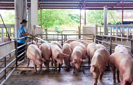 Giá lợn hơi hôm nay 27/6/2021: Ít biến động, dao động từ 58.000 - 69.000 đồng/kg