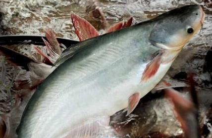 Vĩnh Hoàn và Navico không chịu thuế chống bán phá giá cá tra vào Mỹ trong đợt rà soát POR16