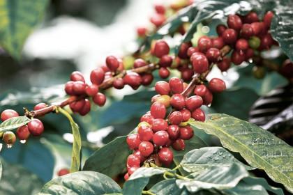 Việt Nam là thị trường ngoại khối cung cấp cà phê lớn nhất cho Áo
