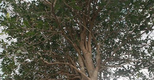 Giải mã 'cơn sốt' Mộc Hương - loài cây đắt đỏ sánh ngang lan đột biến