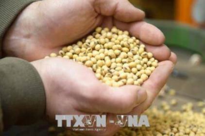 Nhập khẩu đậu tương của Trung Quốc có thể sẽ giảm mạnh vào cuối năm