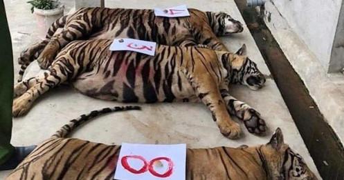 8 con hổ bị chết sau giải cứu ở Nghệ An: Xử lý tang vật thế nào?